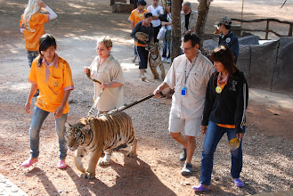 """Photo: After the humans eat, we are allowed to """"walk"""" the tigers!"""
