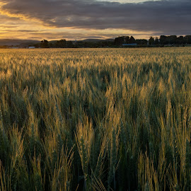 Wheat field wide by David Kreutzer - Landscapes Prairies, Meadows & Fields ( sun rise, mountains, sunrays, field, farm, wheat, morning )