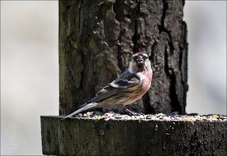 Photo: Bird N°15 - Lesser Redpoll ♂ Latin: Carduelis cabaret