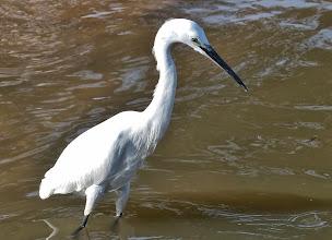 Photo: Vögel am Viktoriasee: Seidenreiher (Egretta garzetta, Little Egret)