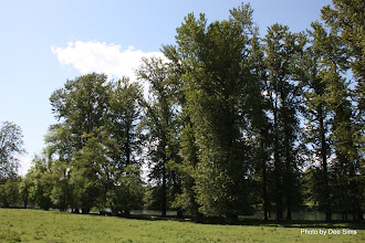 Photo: (Year 2) Day 343 - Poplars on the Cowlitz River
