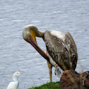 Great pelican - juvenile