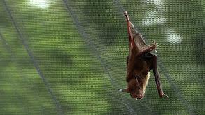 Bat in the Crack thumbnail