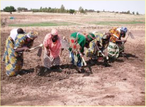 Photo: Findoukaina, Timbuktu, Mali, West Africa. October 2008. Members of the Women's group did all the work on their SRI plot's themselves. Here they are shown plowing a plot. [Photo by Erika Styger]