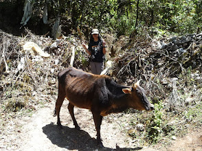 Photo: Emily reaching the pass at Borlang Bhanjyang (2440m), but a cow blocks her way