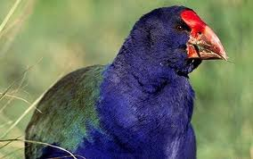 Image result for takahe bird