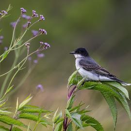 Eastern Kingbird by Shutter Bay Photography - Animals Birds ( nature, bird, eastern kingbird, landscape, colors )