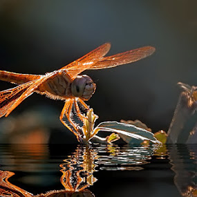 DF on BL by Teguh Santosa - Animals Insects & Spiders