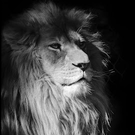 African Lion by Dave Lipchen - Black & White Animals