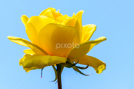 Yellow Rose Single Flower Flowers Pixoto