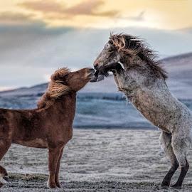 by Oddsteinn Björnsson - Animals Horses (  )