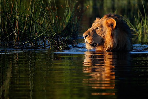 An African lion makes its way across the flooded Okavango