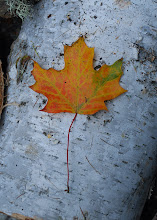 Photo: Maple leaf on birch at Half Moon Pond State Park by Linda Carlsen-Sperry.