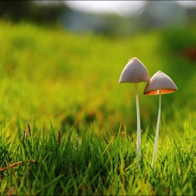 Pair.. standing tall by Shrikrishna Bhat - Nature Up Close Mushrooms & Fungi ( fungi, green, garden,  )