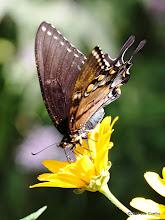 Photo: Eastern Tiger Swallowtail (melanic female)
