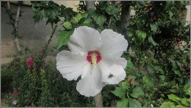 Photo: Hibiscus, Zămoșiță de Siria (Hibiscus syriacus, Hibiscus trionum) - din Turda, Str. Rapsodiei, Nr.3, spatiu verde - 2018.06.21