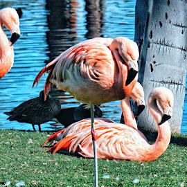Resting Flamingos  by Nelida Dot - Animals Birds ( beautiful, pink, resting, artistic, birds, sleepy, flamingo )