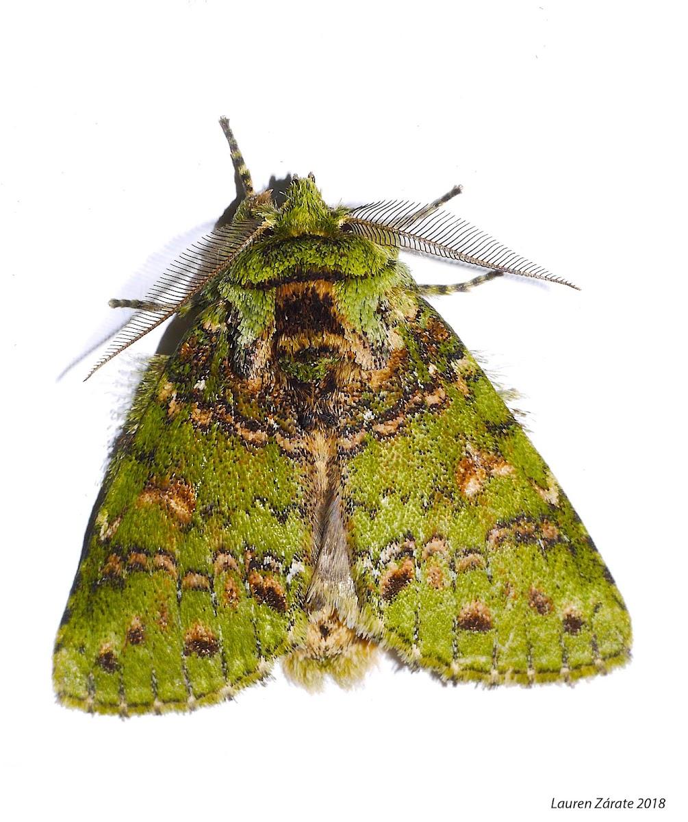 Green Noctuid Moth
