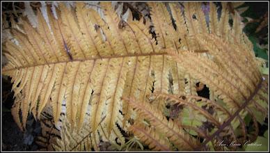 Photo: Ferigă (Dryopteris filix-mas) - de pe Str. Rapsodiei, intre blocuri - 2016.10.20