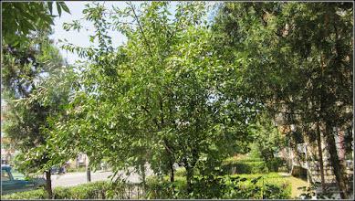 Photo: Vișin (Prunus cerasus) - de pe Calea Victoriei - 2017.07.08