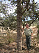 Photo: Scott showed us this odd specimen of Gum Bully (Sideroxylon lanuginosum), which Mark explained was caused by sapsuckers.