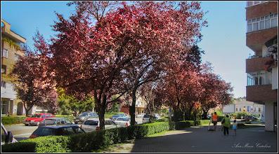 Photo: Corcoduş ornamental roşu (Prunus cerasifera Nigra) - de pe Str. Libertatii - 2017.06.19