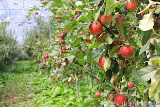 Photo: 拍攝地點: 梅峰-蘋果園 拍攝植物: 德國蘋果 拍攝日期: 2014_09_27_FY