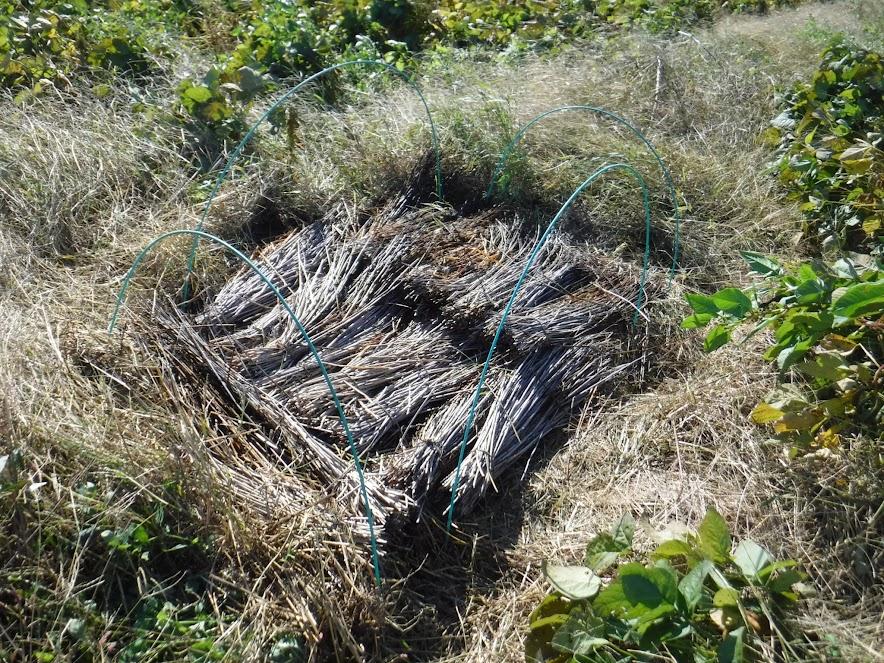 中段と下段の間の畔に植え、わらをかぶせました