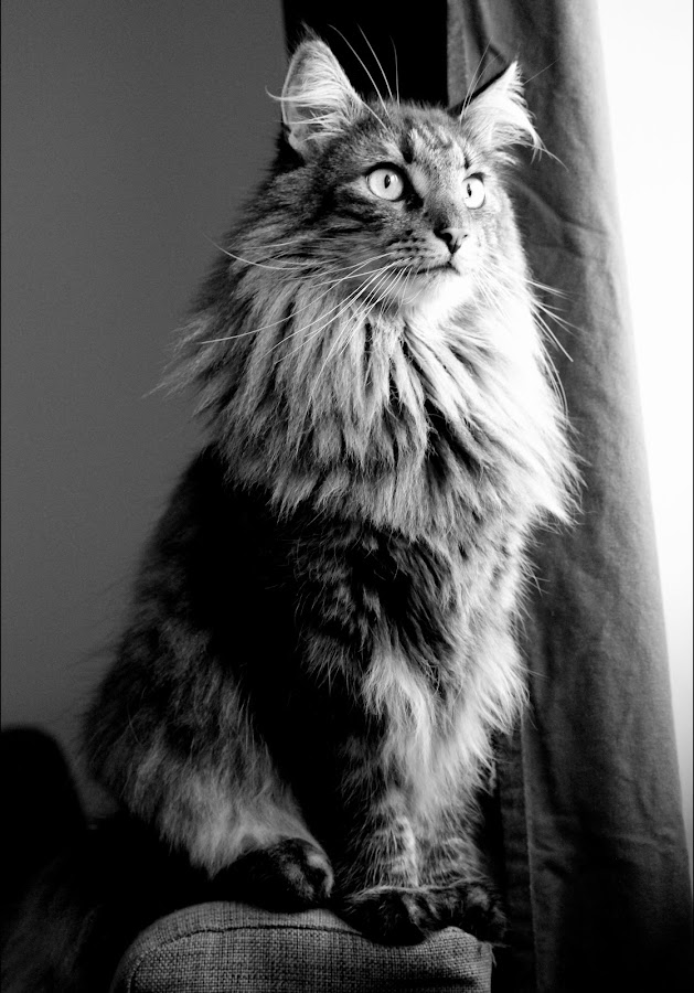 by Marie Gibson - Animals - Cats Portraits