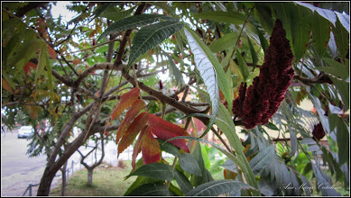 Photo: Str. Salinelor - spatiu verde,  Oțetar-roșu (Rhus typhina)  - 2016.10.08