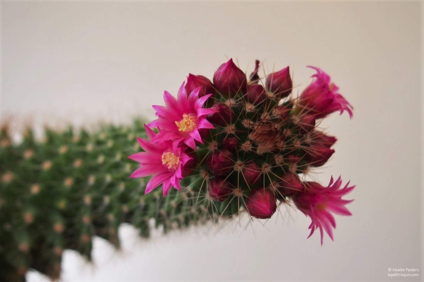 Cactus (Le petit requin)