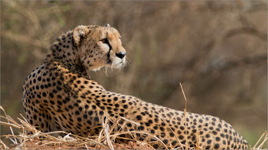 Photo: Cheetah in Tanzania RJB Tanzania, Africa Tours Canon Canon EOS 70D, Swarovski Telescope STX + 65mm x 25 - 1200 mm 1/400s iso320 From about 75 - 80 yards.