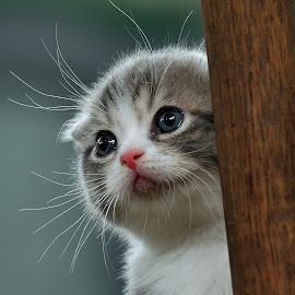 Expecting by Cacang Effendi - Animals - Cats Playing ( cats, kitten, cattery, chandra, scottish, kitty, pwc84 )