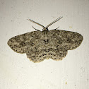 Small Egrailed Moth