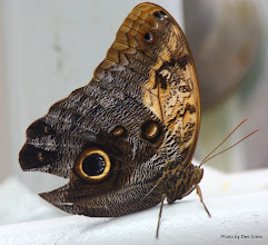 Photo: (Year 3) Day 23 - Butterfly in the Californian Academy of Sciences Rainforest