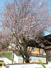 Photo: =))  The blood plum in my garden - nearly in full bloom. Lots of bumble bees and other flying insects are coming to it now.  Last year this tree was in full flower already on the 4.4. - this year is a bit later. And just as nice!  #treetuesday  +Tree Tuesday #spring2013
