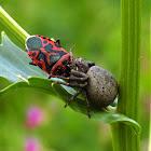 Forest Crab Spider