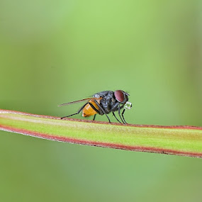 Laler ingusan by Oengkas Wijaya - Animals Insects & Spiders ( macro, natural, macro photography, insect, insects )