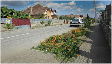 Photo: Crăițe, carujele (Tagetes) - pe Str. Gradinilor - 2017.08.24