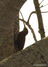 Photo: Ivory-billed Woodcreeper, found alolng the road to San Blas