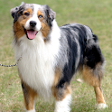 Dog Puzzle:Australian Shepherd icon