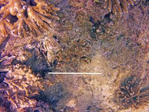 Photo: A. prolifera Specimen #14.  Scale is 30 cm. Estimated Maximum Linear Dimension: 23 cm