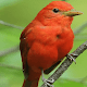 Cute Red Bird LWP APK