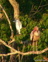 Photo: Juvenile Reddish Egret and White Ibis, High Island, Texas