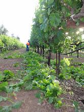 Photo: Suckering in the vineyard