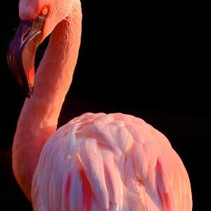 April 4 Kowloon park sunlit flamingo.jpg