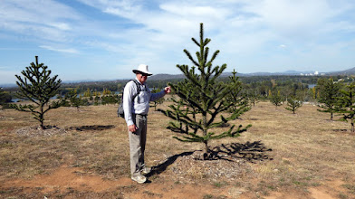 Photo: Fitz admiring a Monkey Puzzle tree in Forest 12 the Monkey Puzzle, Araucaria araucana, Chile pine. Indigenous: Pehuén