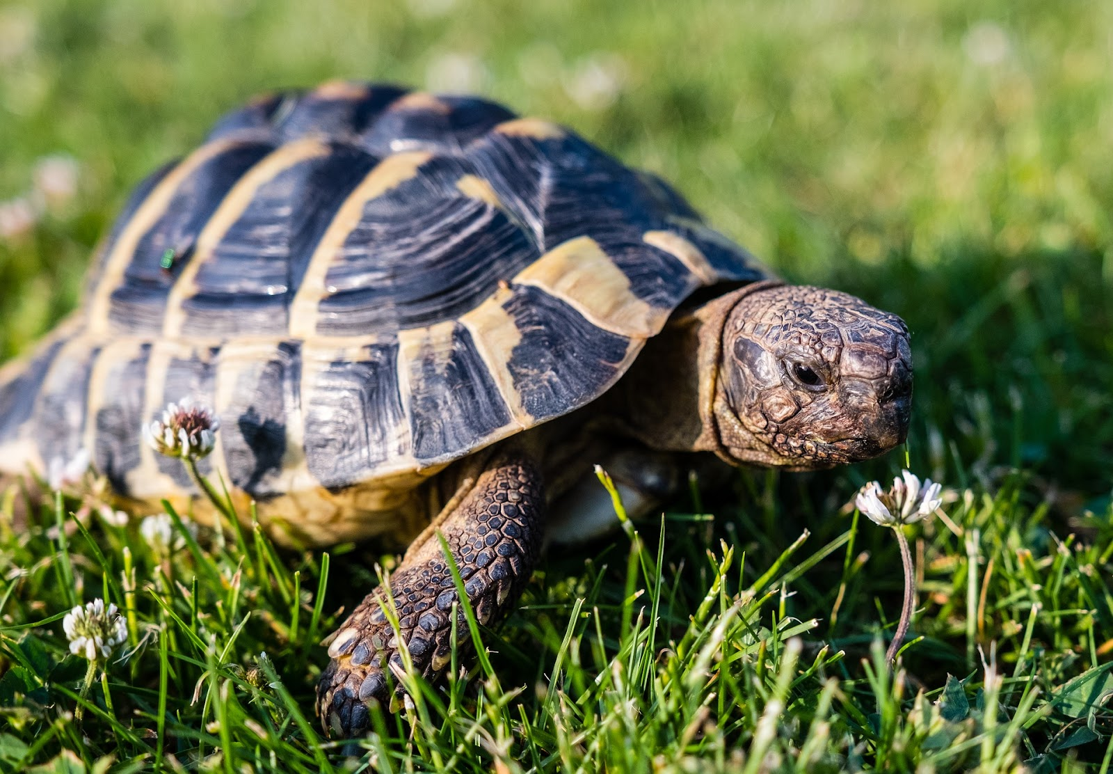Small tortoise in the grass