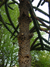 Photo: Tronco de Araucaria