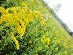 Photo: Golden flowers in a field at Eastwood Park in Dayton, Ohio.